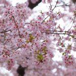 桜満開!笑顔満開!お花見ツアー